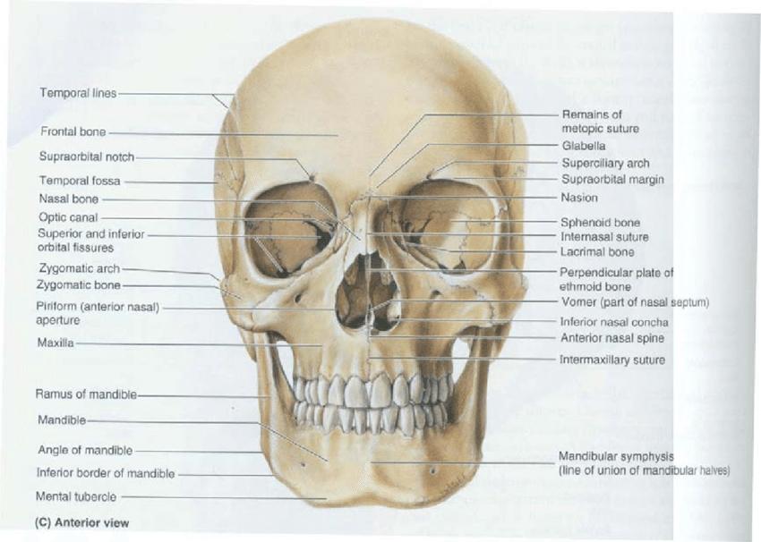 interior nasal anatomy interior » Electronic Wallpaper | Electronic ...