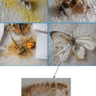 Pdf Life Cycle Of Museum Pest Anthrenus Flavipes Lec