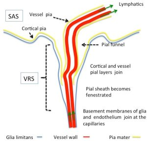 Morphology of Virchow Robin and perivascular spaces Delineated by | Download Scientific Diagram