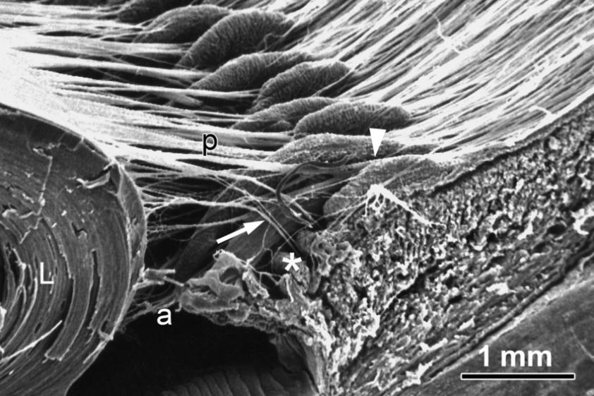 Scanning electron micrograph of a sagitally cut specimen ...