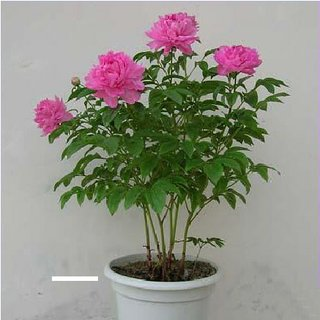 Pdf Chinese Herbaceous Peonies Cultivar Selection For Forcing