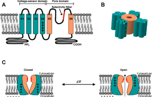General architecture of a voltagegated ion channel (A) Each subunit | Download Scientific