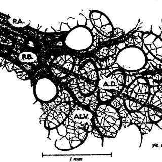 Alveolar Walls Septa Described In Terms Of The Septal
