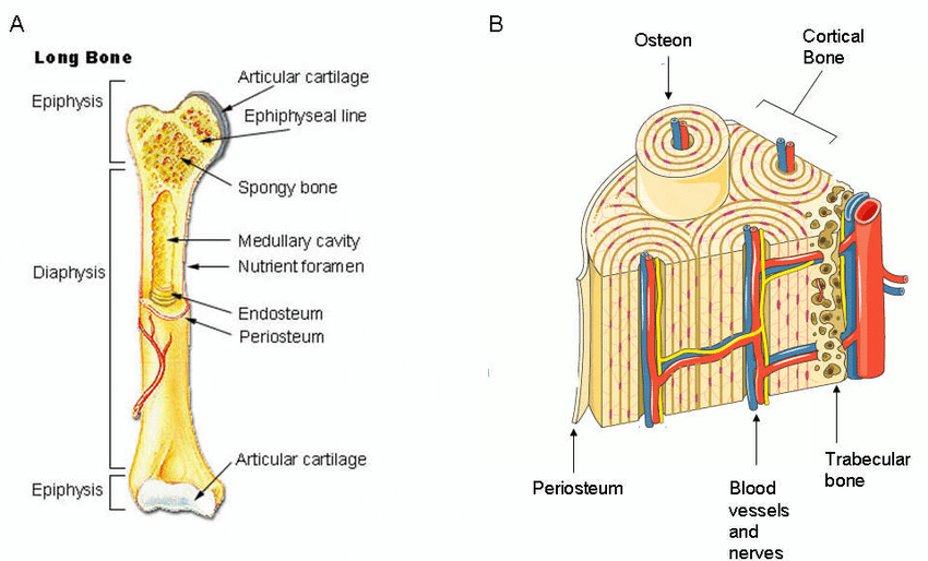 Long bones, especially the femur and tibia, are subjected to most of the load during daily activities and they are crucial for skeletal mobility. Diagram Of A Long Bone - Free Wiring Diagram