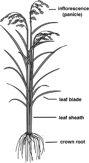 Schematic representation of mature rice plant | Download