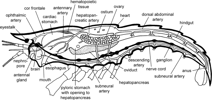 4 Schematic Illustration Of Crayfish Anatomy Showing