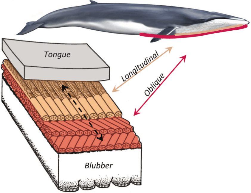 Functional anatomy of the ventral groove blubber. Rorquals ...