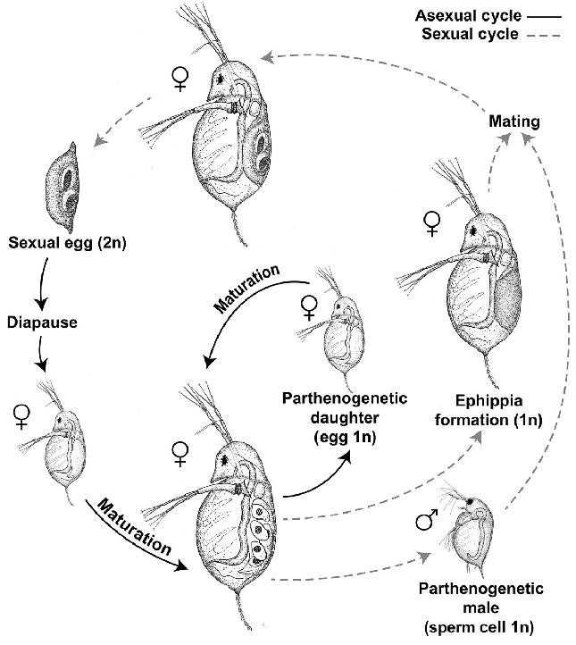 Life Cycle Of The Host Daphnia Dentifera Solid Lines