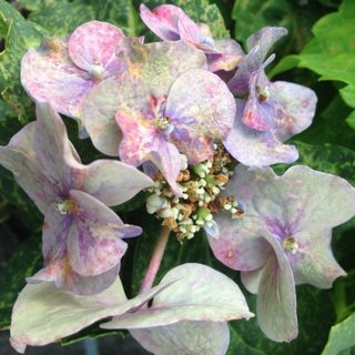 Pdf First Report Of Eggplant Mottled Dwarf Virus Causing Flower