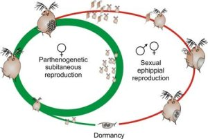 1 The cyclically parthenogeic life cycle of Daphnia
