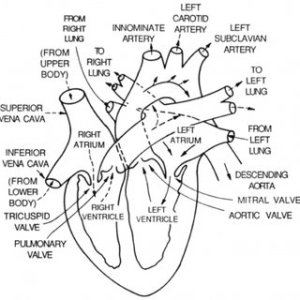 3: The four chambered heart is divided into two separated