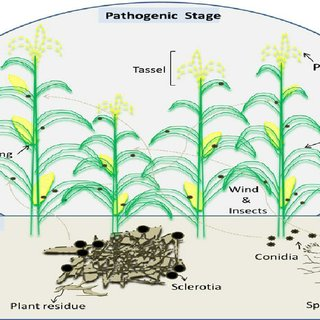 Life Cycle Of Aflatoxigenic Fungi Aspergillus Flavus In A Corn Download Scientific Diagram