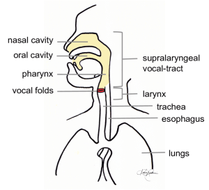 A diagram of the human vocal production apparatus