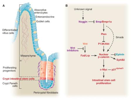 Image result for enterocytes villi stem cells