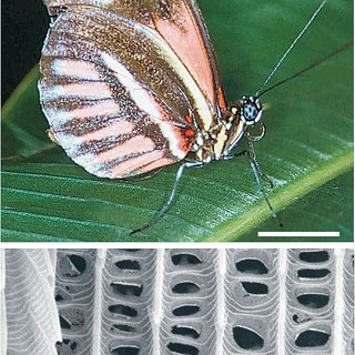 Pdf Butterfly Wing Colours Scale Beads Make White Pierid Wings