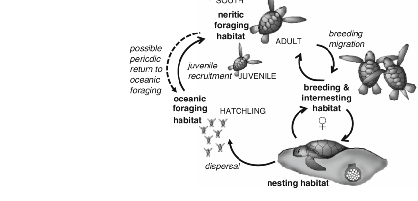 Schematic Diagram Of The Generalized Sea Turtle Life Cycle With Each Download Scientific Diagram