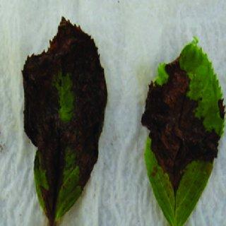 Pdf Diseases Of Hydrangea