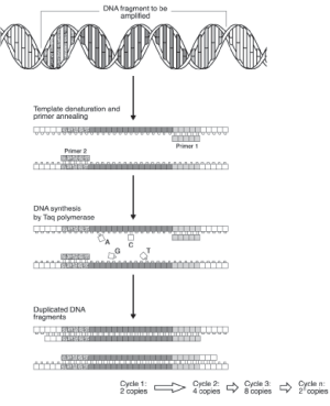 Schematic diagram of PCR showing that each cycle