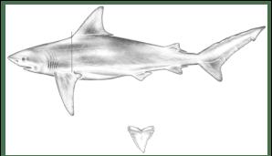 Bull shark, Carcharhinus leucas | Download Scientific Diagram