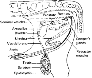 4 The reproductive tract of the bull (lateral view