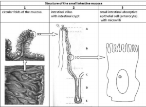 Structure of the small intestinal mucosa Schematic representation of | Download Scientific