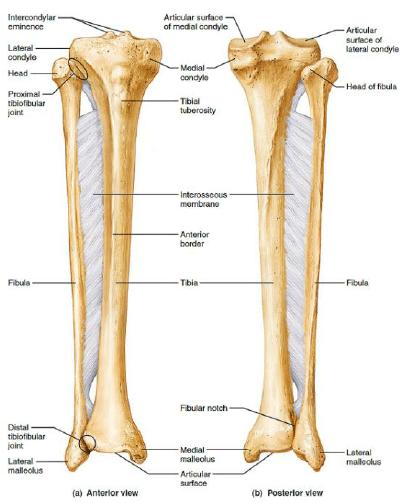 The right tibia and fibula [6] | Download Scientific Diagram