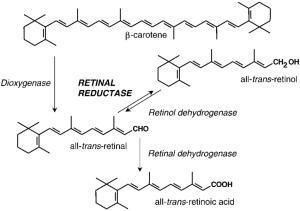 Biosynthesis of retinoic acid from carotene | Download