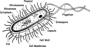 The schematic diagram of bacterial cell structure