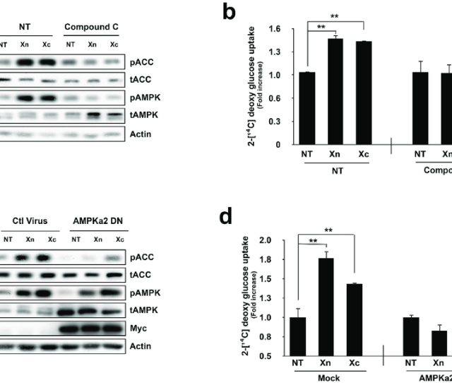 Inhibition Of Ampk Eliminates Xn And Xc Induced Glucose Uptake A L6 Myotubes Were Pre Incubated With The Ampk Chemical Inhibitor Compound C