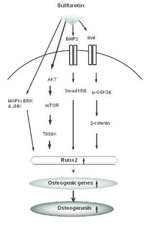 Schematic diagram illustrating that sulfuretin can induce