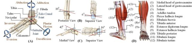 11. In Anatomy Revision,Describe the movements of the ankle joint and explain muscles allowing them?