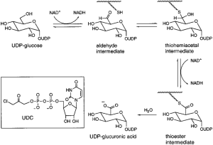 Proposed mechanism of the reaction catalyzed by UDPglucose