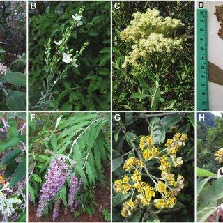 Pdf Phylogenetic Relationships In Tribe Buddlejeae