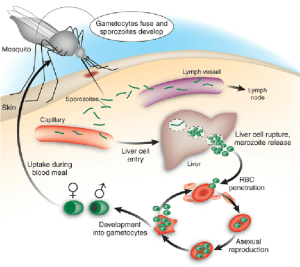 Schematic life cycle of malaria in humans Sporozoites are