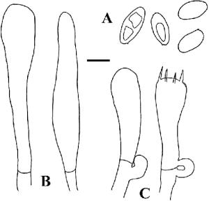 Phylloporus colligatus A Basidiospores B