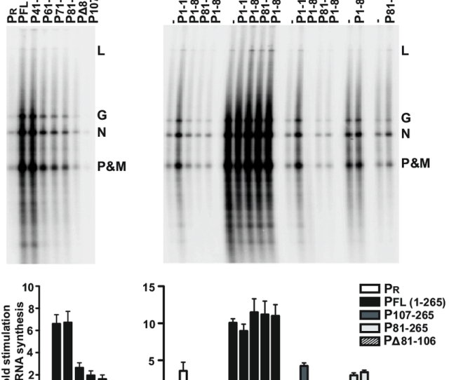 Functional Analysis Of P Ntd In Transcription Of An Encapsidated N Rna Template A 50  Ce Bcl In Vitro Transcription Reactions Were Reconstituted With 5  Ce Bcg Of