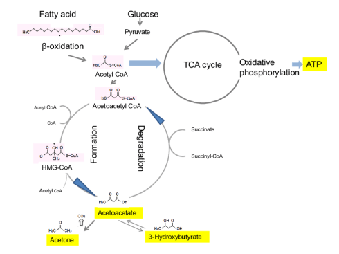 Production of ketones and energy production. Ketone bodies, namely... |  Download Scientific Diagram