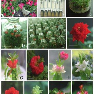 Pdf In Vitro Flowering Red Miniature Rose