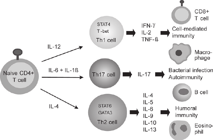 ... group and their functions in immune responses are shown. Modifi ed