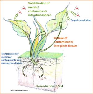 2 Schematic representation of phytovolatilization where