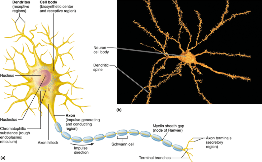 2: Structure of a motor neuron 12. | Download Scientific ...