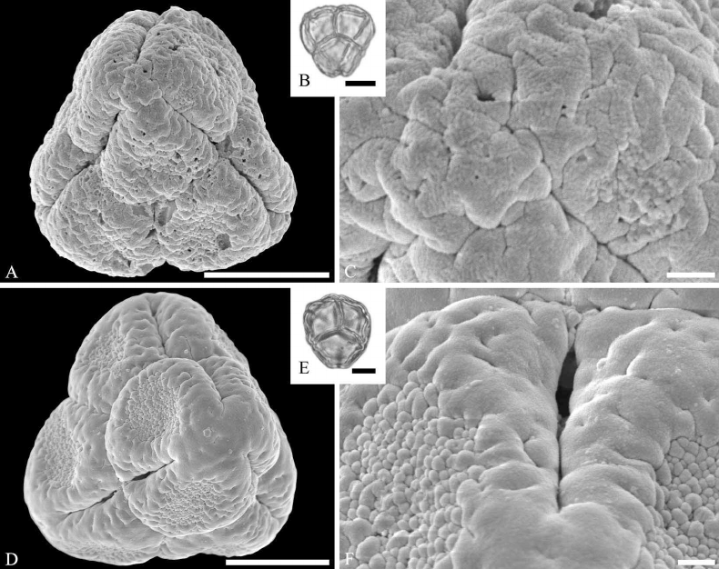 Ericaceae pollen from the Early Paleocene of Agatdalen