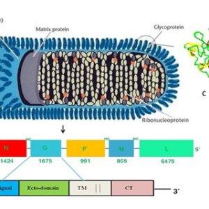 Typical representation of the pathogenesis of rabies virus