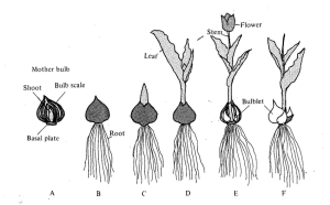 Growth cycle of tulip plants (A) Planting mother bulb (B) Root | Download Scientific Diagram
