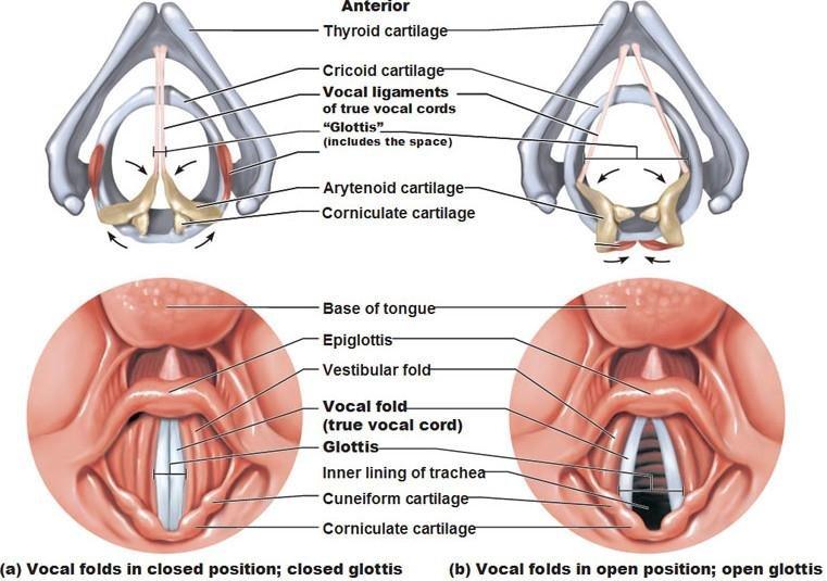Epiglottis Vocal Folds Diagram Data Wiring Diagrams