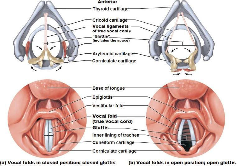 Vocal Folds Diagram Labeled - Information Of Wiring Diagram •