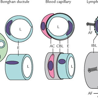Structural Properties Of Bonghan Ductule And Of Blood And