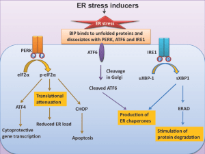ER stress signaling pathway Upon induction of ER stress