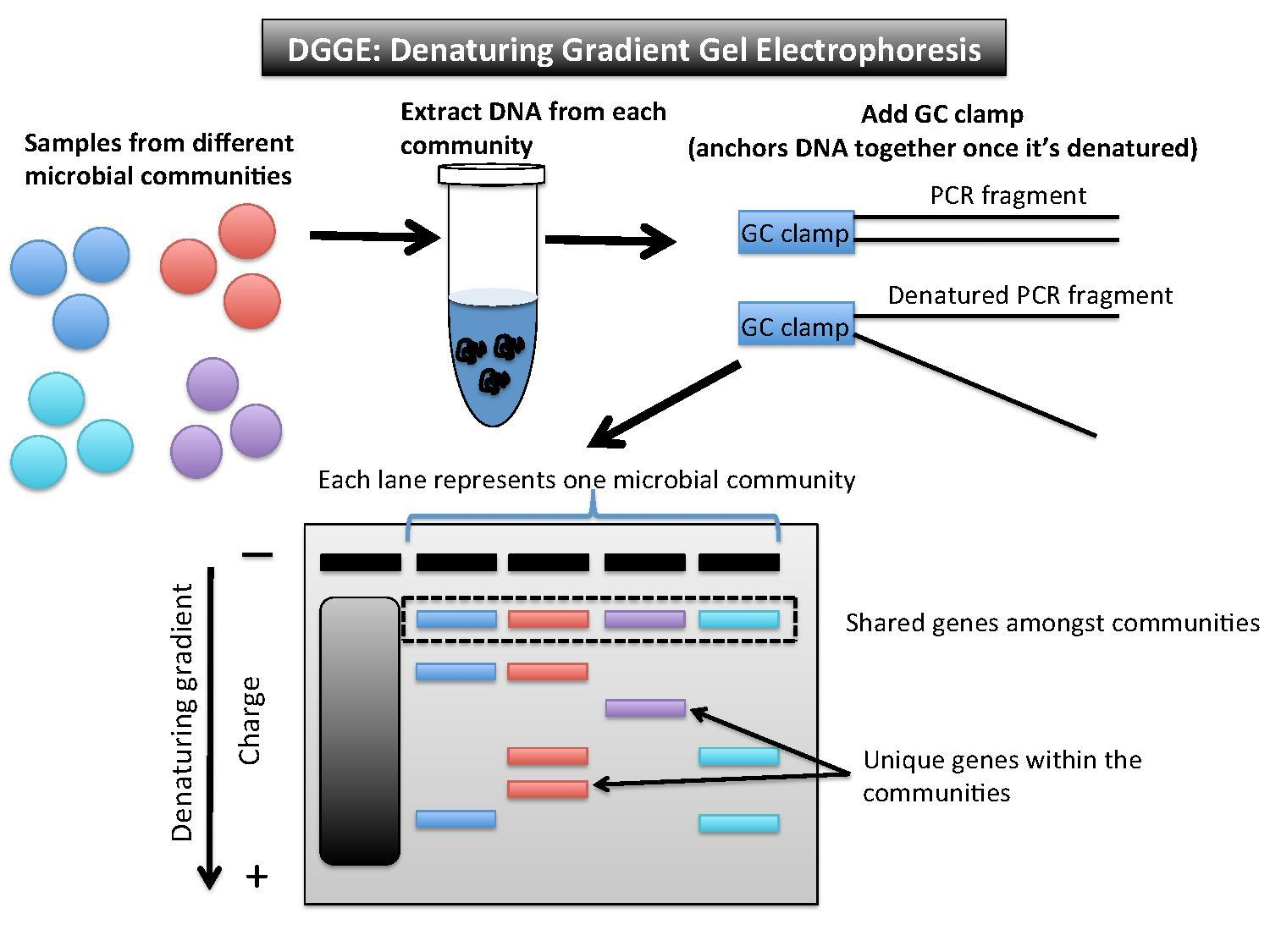 Does Gc Content Of Dna Fragment Can Effect Migration On