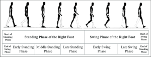 Gait phase changes of the right foot in a gait cycle during level   Download Scientific Diagram